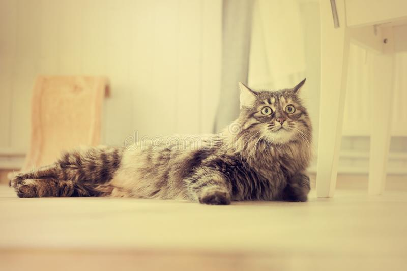 Maine Coon cat lies in the living room royalty free stock image