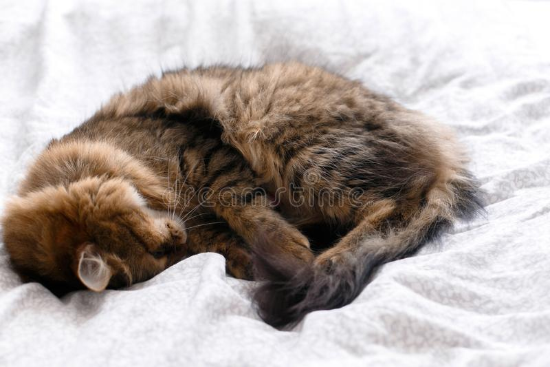 Maine coon cat lying and sleeping on white bed in sunny bright stylish room. Cute cat resting with funny adorable emotions on royalty free stock image