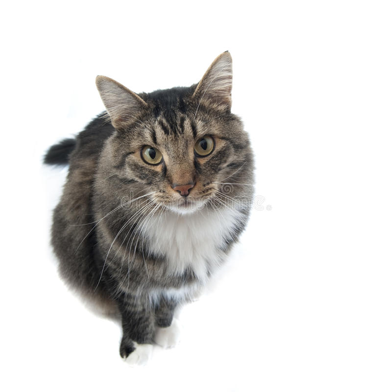 Maine Coon cat looking up at his master stock photography