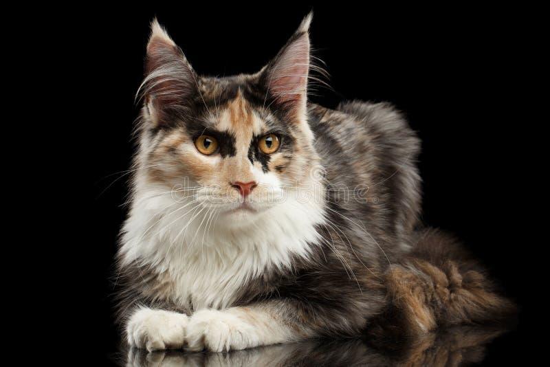 Maine Coon Cat Lying, neugieriges in camera schauen, schwarz stockfoto