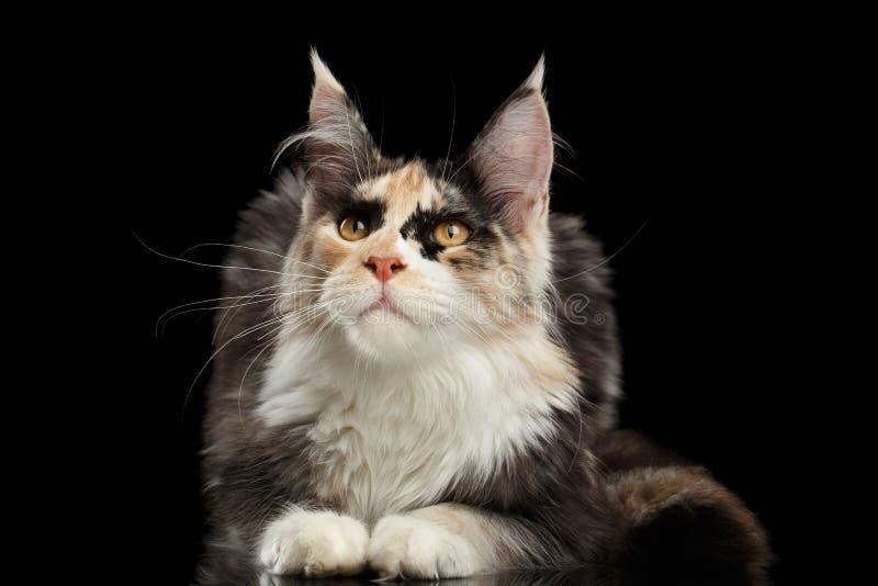 Maine Coon Cat Lying, neugieriges oben schauen, schwarz stockfotografie