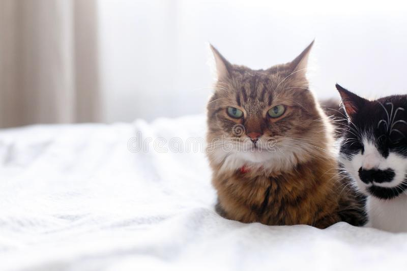 Maine coon and cat with moustache resting with funny emotions on comfortable bed. Friends pets. Space for text. Two cute cats. Sitting and relaxing on white bed stock photography