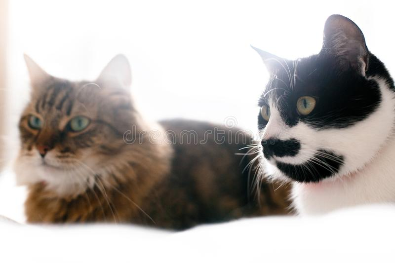 Maine coon and cat with moustache resting with funny emotions on comfortable bed. Friends pets. Space for text. Two cute cats royalty free stock image