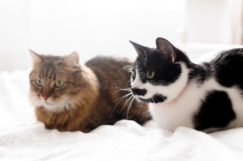 Maine coon and cat with moustache resting with funny emotions on comfortable bed. Friends pets. Space for text. Two cute cats royalty free stock photo