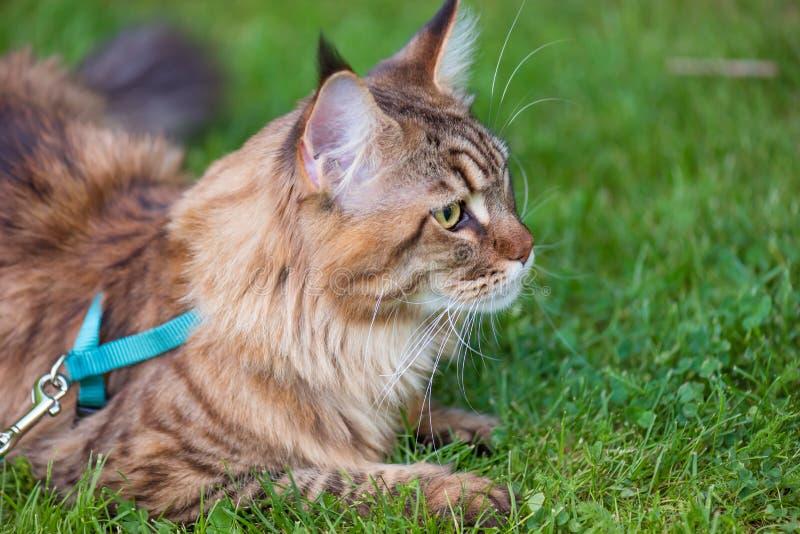 Maine Coon Cat am Park lizenzfreies stockbild