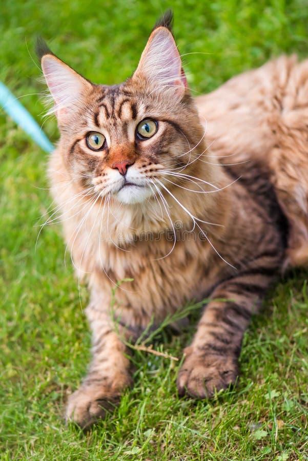 Maine Coon Cat am Park stockfoto