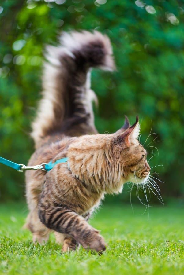 Maine Coon Cat am Park lizenzfreie stockfotos