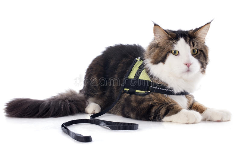 Maine coon cat. Portrait of a purebred maine coon cat on a white background royalty free stock images