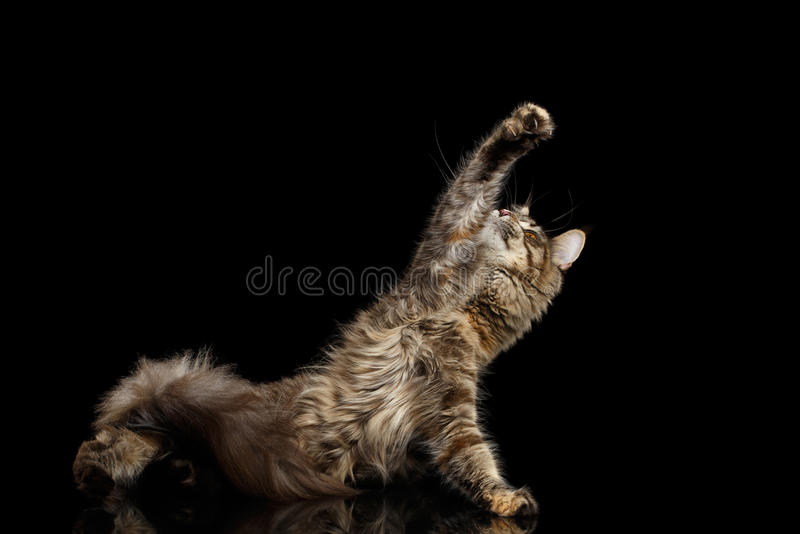 Maine Coon Cat Raising up paw Isolated on Black Background. Playful Maine Coon Cat Lying and Raising up paw Isolated on Black Background royalty free stock photos