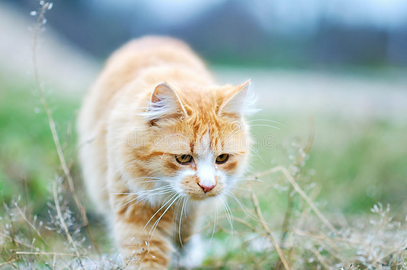Maine coon cat. Red maine coon cat in the garden royalty free stock photos
