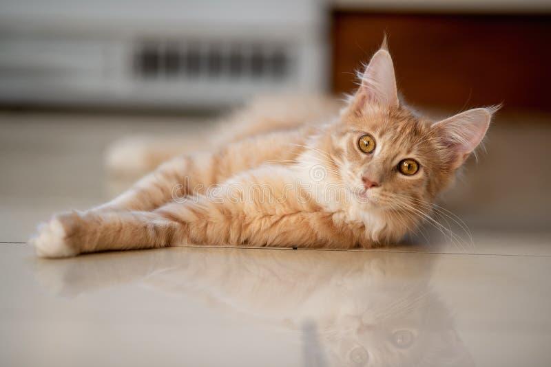 Maine Coon Cat lizenzfreie stockfotos