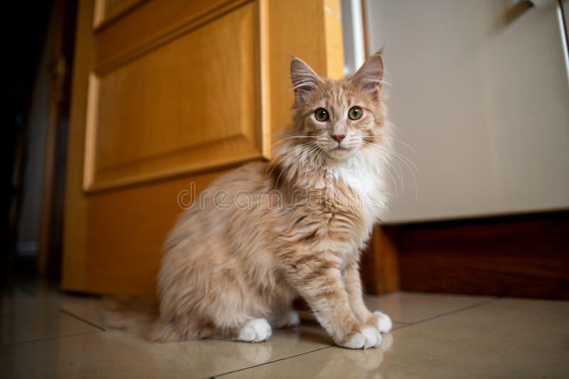 Maine Coon Cat lizenzfreie stockbilder