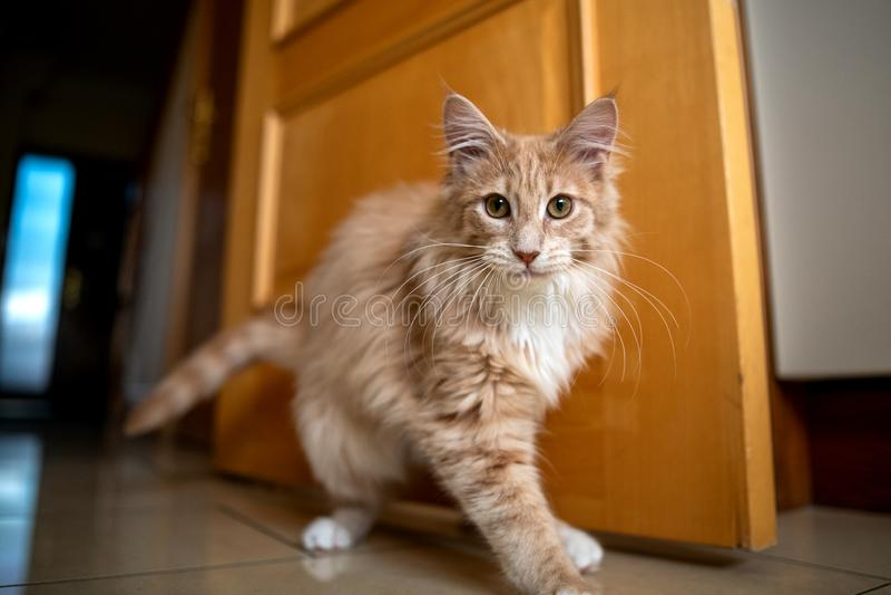 Maine Coon Cat stockfoto