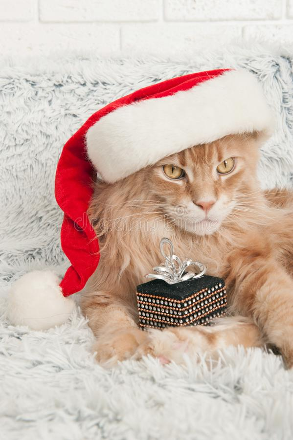 Maine Coon cat in Santa Claus hat royalty free stock photography
