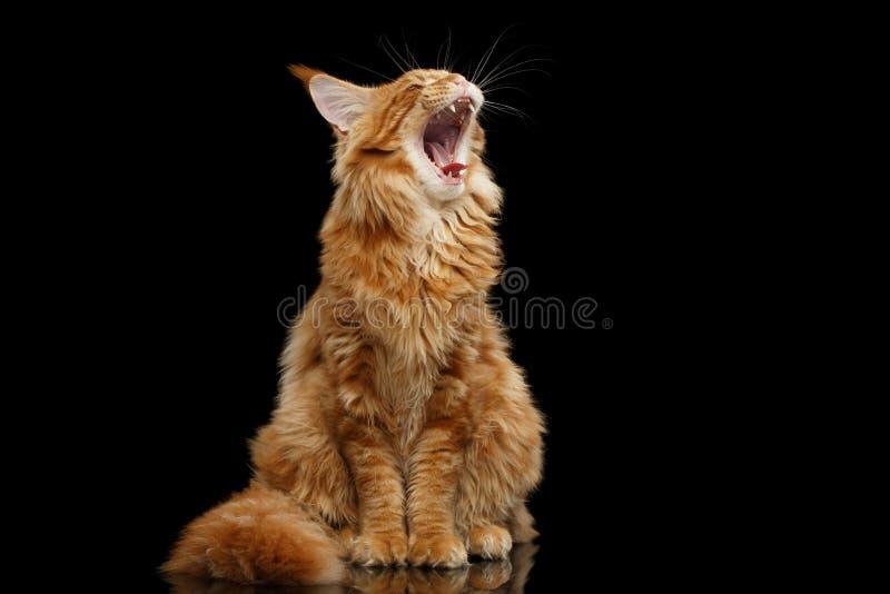 Maine Coon Cat Sitting rouge curieuse et bâillement, noir d'isolement images libres de droits