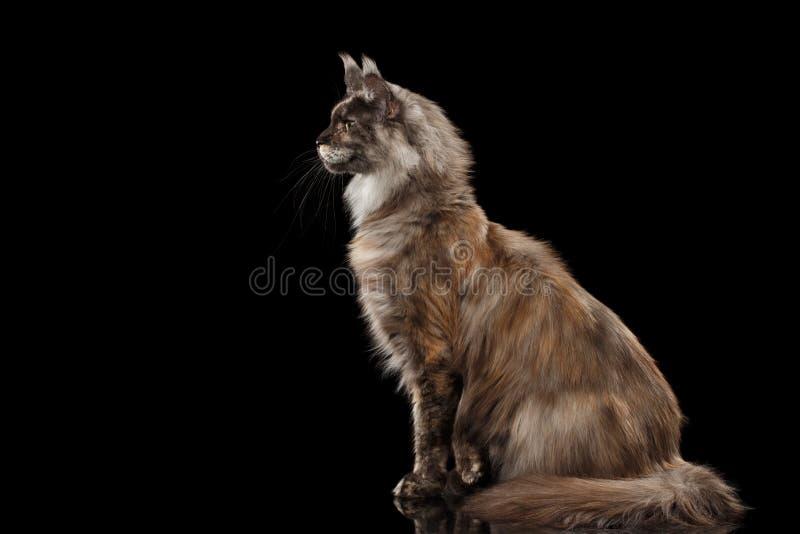 Maine Coon Cat Sitting und Blicke neugierig, lokalisierter schwarzer Hintergrund stockbilder
