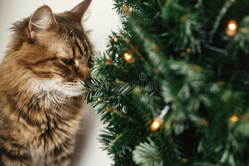 Maine coon cat smelling little christmas tree with lights. Cute kitty relaxing under festive christmas tree. Winter holidays. Pet stock photography