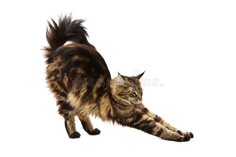 Download Maine coon cat stretching stock image. Image of posture - 12345547