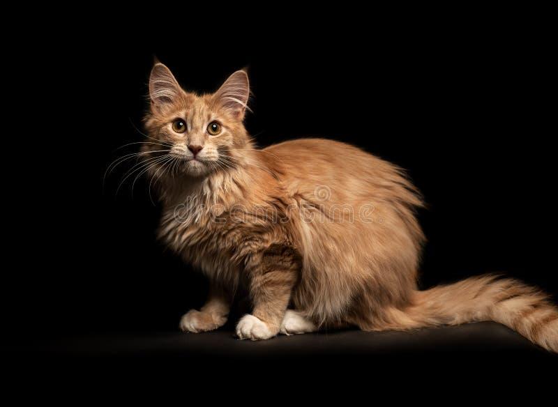 Maine Coon Cat lizenzfreies stockfoto