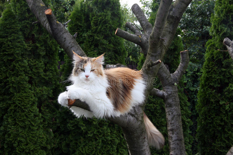 Maine coon. Cat on tree royalty free stock photography