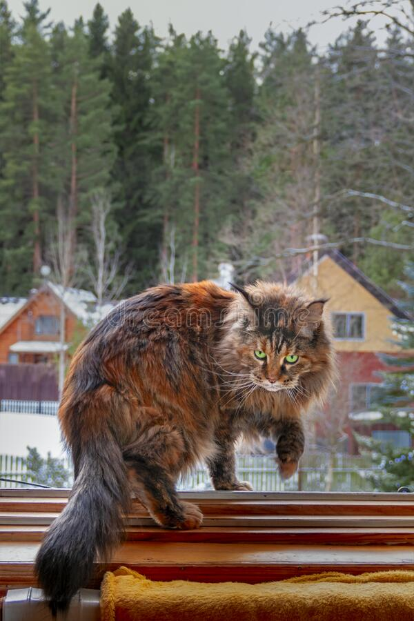 Maine Coon cat walks on the window. Fluffy cat hunts on the snow-covered background in country house, winter day royalty free stock photo
