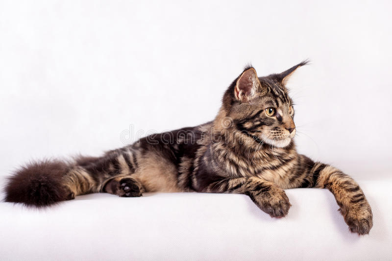 Maine Coon cat on white background stock image