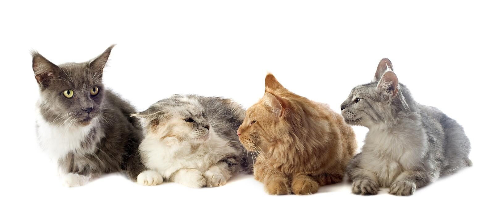 Download Maine coon cats stock photo. Image of background, down - 26434190