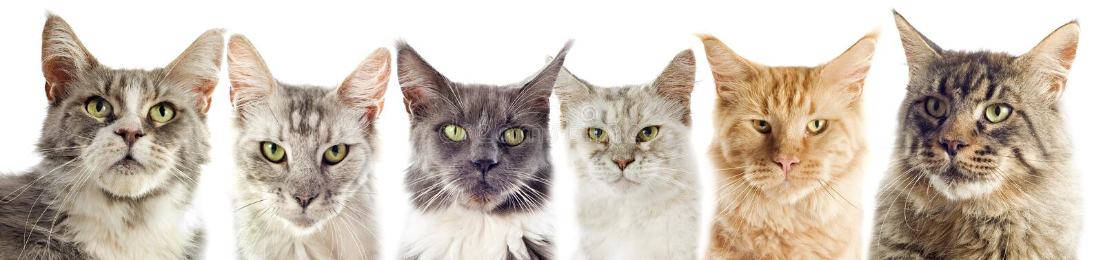 Maine coon cats. Group of maine coon cats on a white background royalty free stock photo
