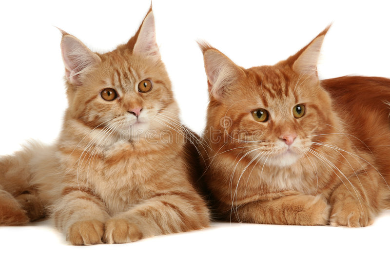 Maine coon cats. Over white background stock images