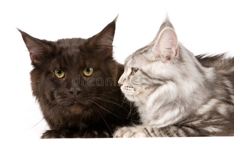 Download Maine Coon Cats Royalty Free Stock Images - Image: 5211189