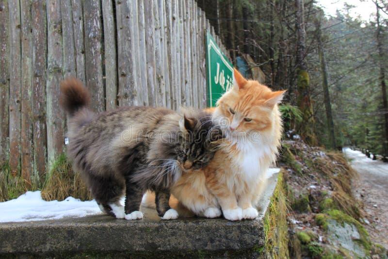 Maine Coon Cats familj royaltyfri bild
