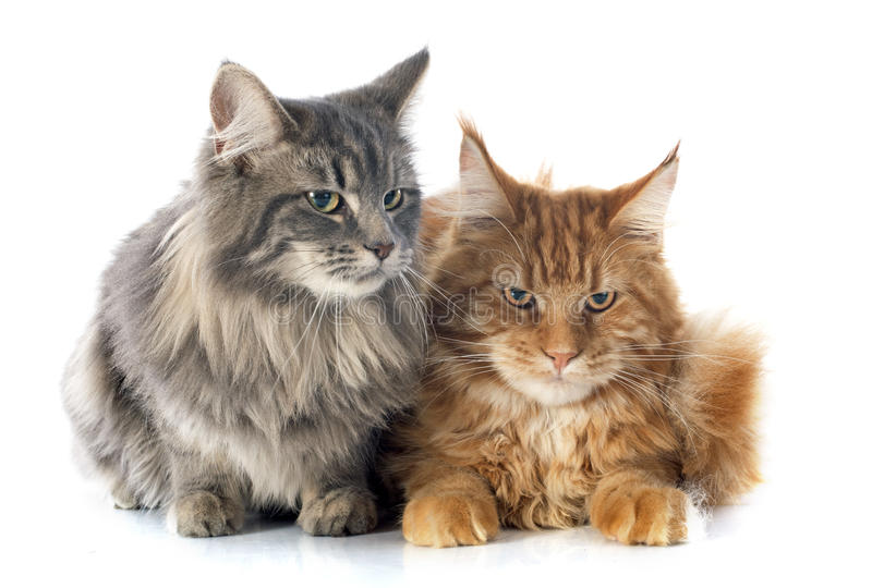 Maine coon cats. Portrait of purebred maine coon cats on a white background royalty free stock image