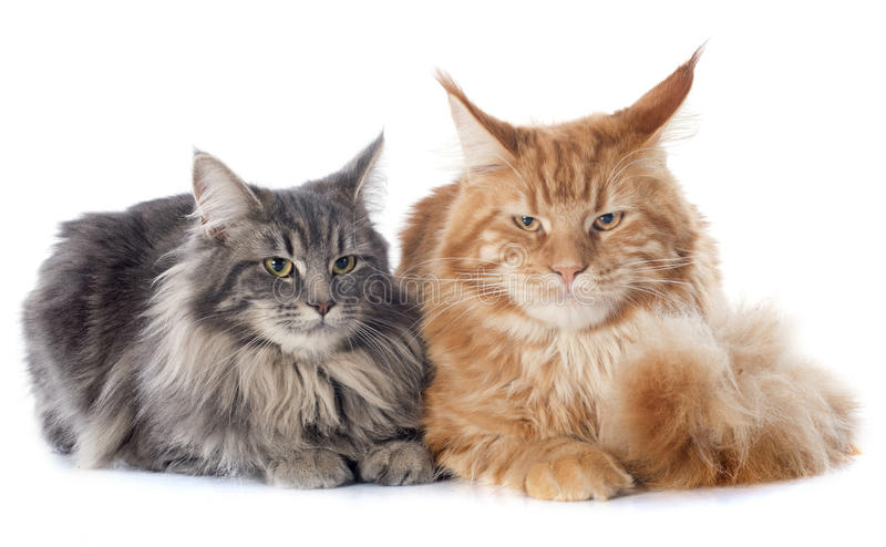 Maine coon cats. Portrait of purebred maine coon cats on a white background royalty free stock photo