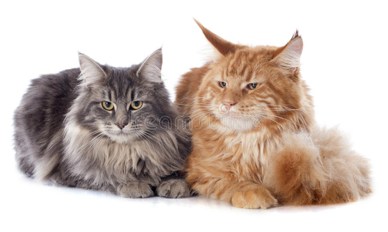 Maine coon cats. Portrait of purebred maine coon cats on a white background royalty free stock photos