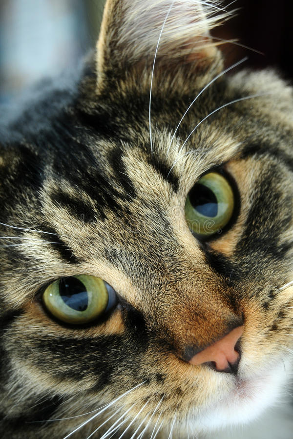 Maine Coon Close up royalty free stock images