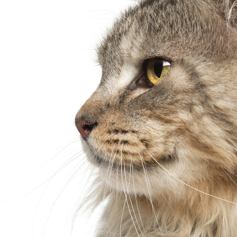 Download Maine Coon close up stock photo. Image of profile, nobody - 26645484