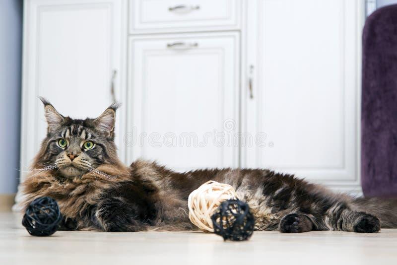 Maine Coon-de kat ligt op een witte camod en ziet weg eruit Portret, stock afbeeldingen