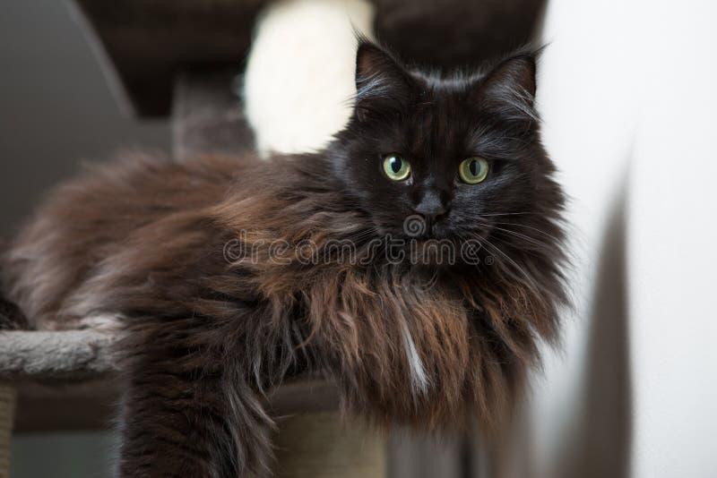 Maine Coon die in kattenhuis liggen stock foto's