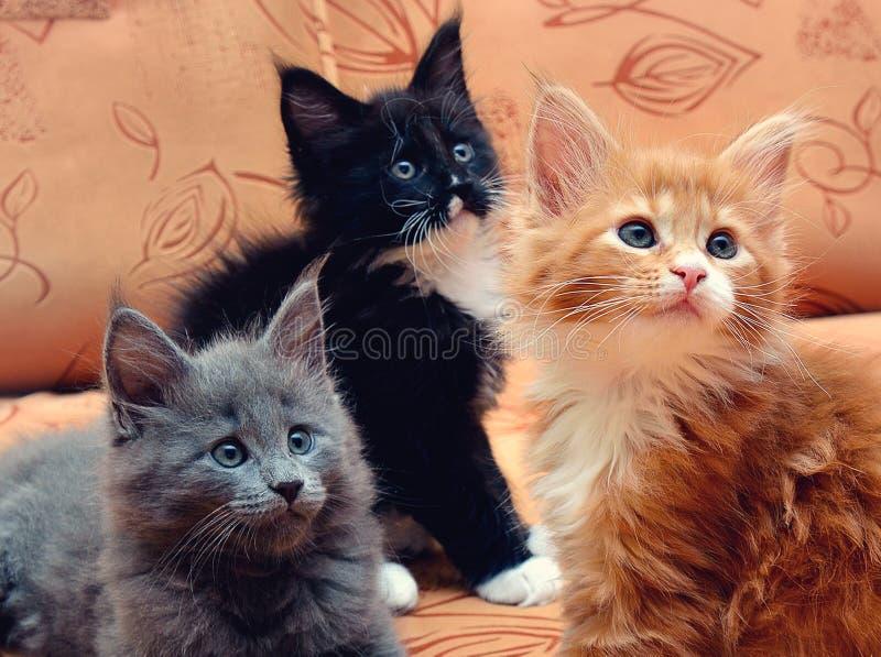Maine Coon för tre kattungar sammanträde på soffan arkivfoto