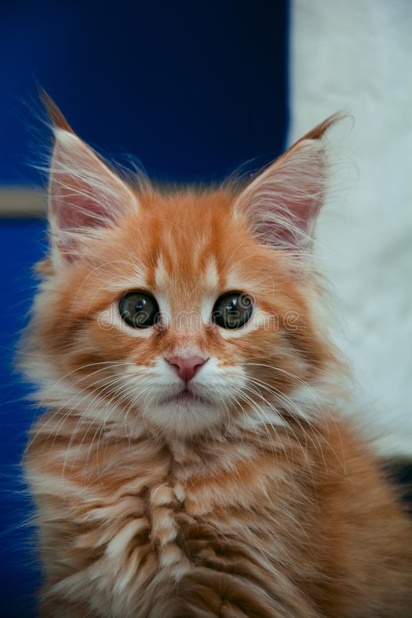 Maine coon. Ginger kitten for sale Maine Coon. purebred, purebred kittens, nursery royalty free stock photography