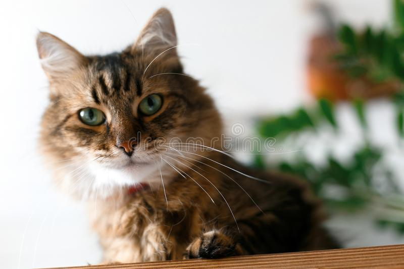 Maine coon with green eyes looking with funny angry  emotions at zamioculcas leaves. Space for text. Cute cat sitting under green. Plant branches on wooden stock images