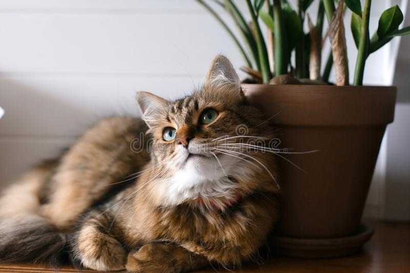 Maine coon with green eyes looking with funny emotions at zamioculcas leaves. Cute cat sitting under green plant branches on. Wooden shelf in stylish boho room stock image