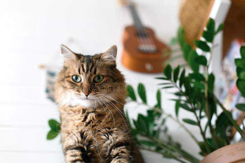 Maine coon with green eyes looking with funny emotions at zamioculcas leaves. Cute cat sitting under green plant branches on. Wooden shelf in stylish boho room stock photo