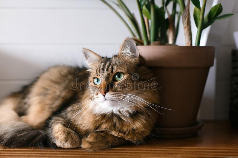 Maine coon with green eyes looking with funny emotions at zamioculcas leaves. Cute cat sitting under green plant branches on. Wooden shelf in stylish boho room royalty free stock photo
