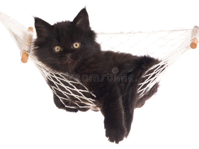 Download Maine Coon Inside White Hammock Stock Image - Image of purebred, kitty: 9698815