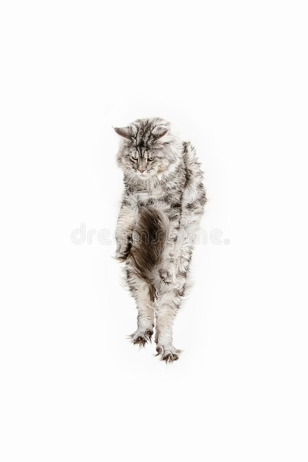 Maine Coon jumping and looking away, isolated on white royalty free stock image