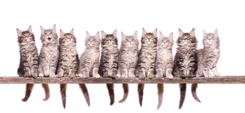 Maine Coon-Kätzchen auf Weiß lizenzfreie stockfotografie