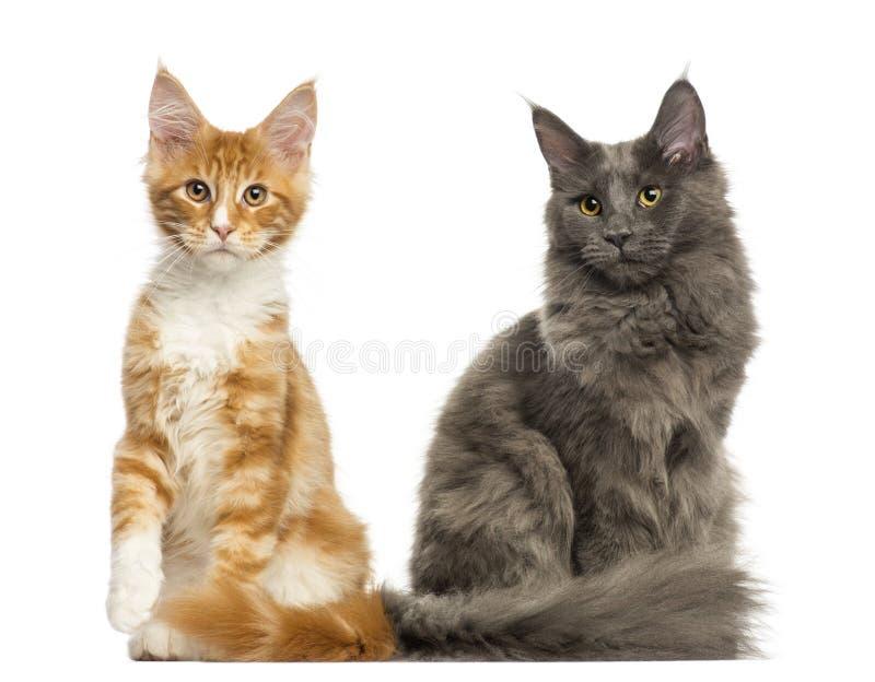 Maine Coon-Kätzchen, die zusammen sitzen, stockfoto