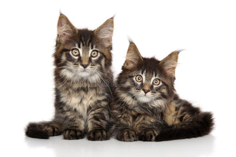 Maine Coon-Kätzchen vor weißem Hintergrund stockfoto
