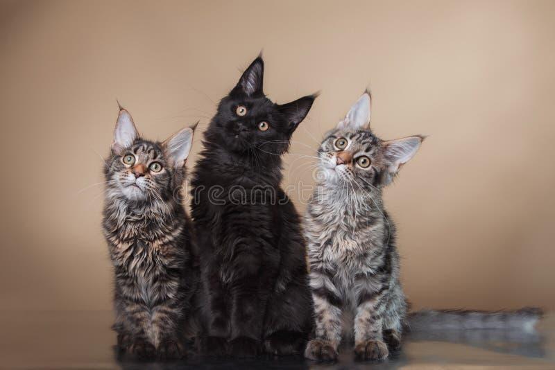 Maine Coon-Kätzchenporträt stockbilder